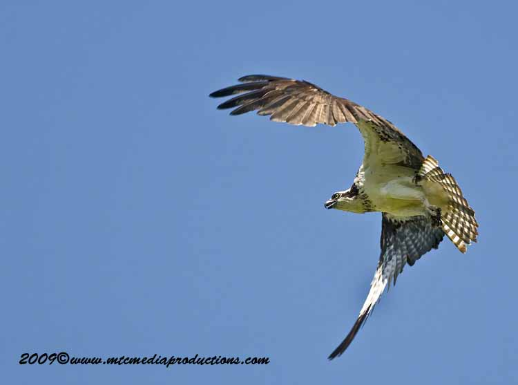 Osprey Picture-50