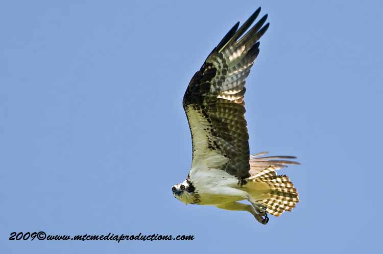 Osprey Picture-51