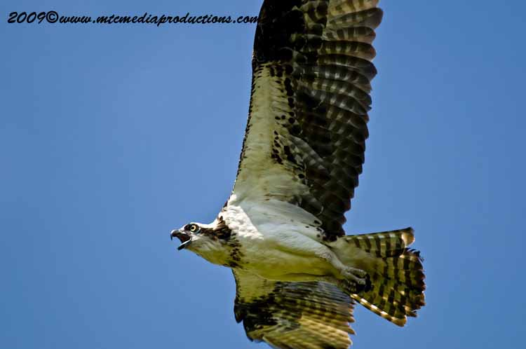 Osprey Picture-52