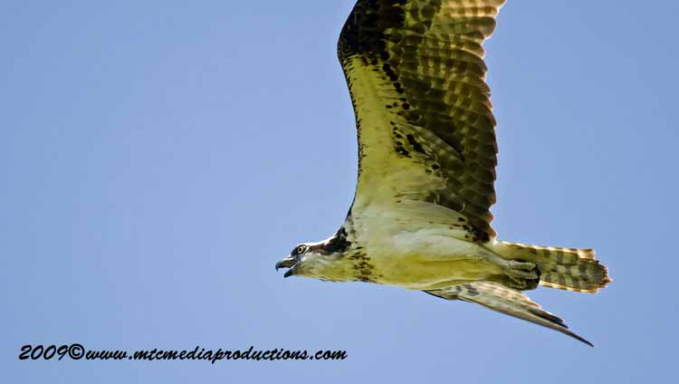 Osprey Picture-53