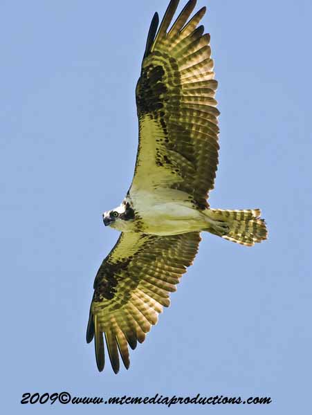 Osprey Picture-54