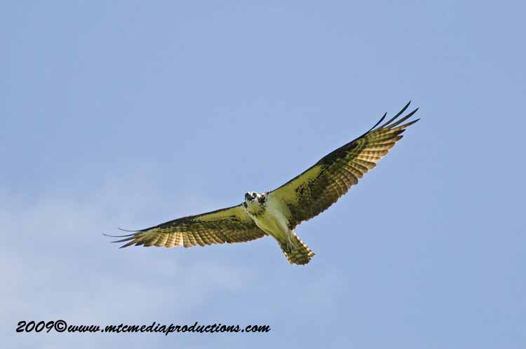 Osprey Picture-55