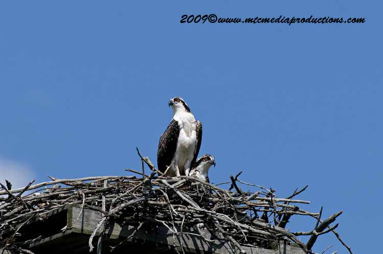 Osprey Picture-56