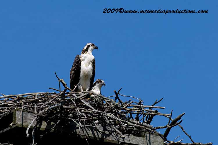 Osprey Picture-57