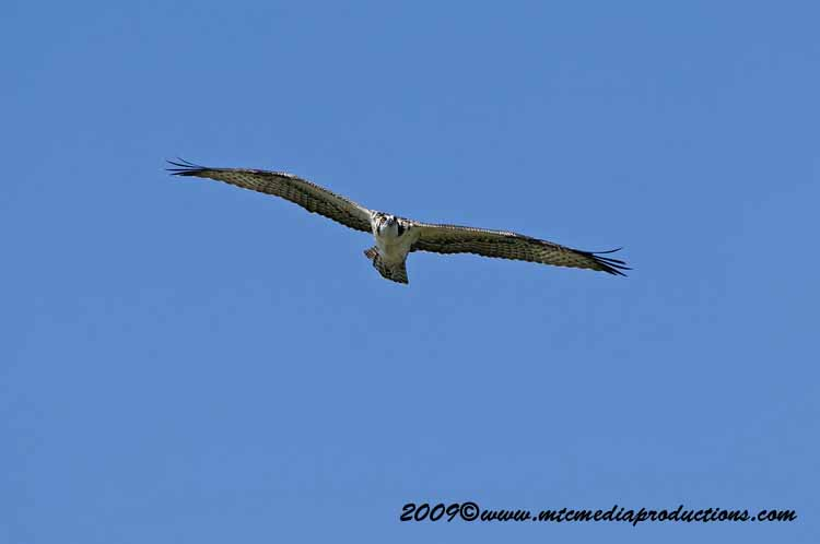 Osprey Picture-58