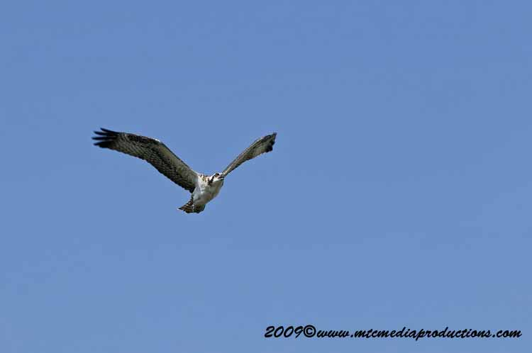 Osprey Picture-59