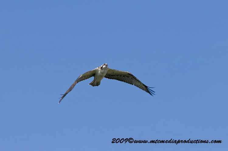 Osprey Picture-60