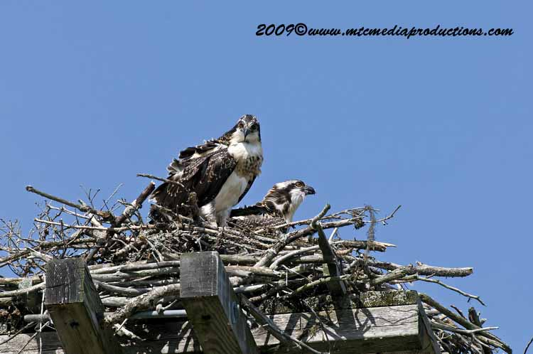 Osprey Picture-61