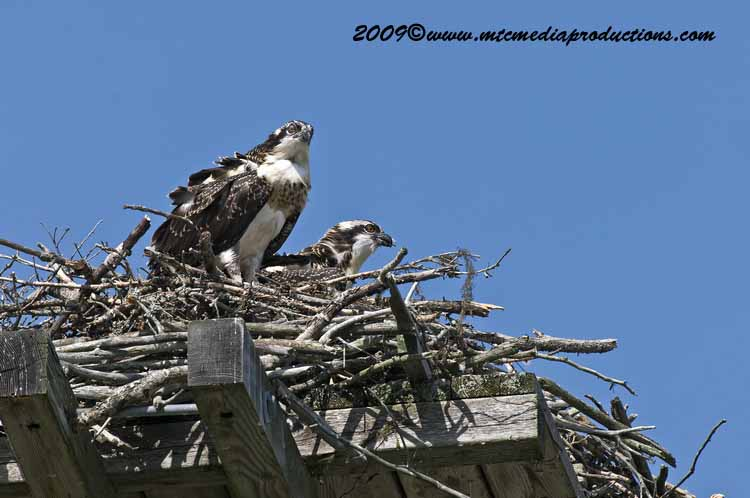 Osprey Picture-62