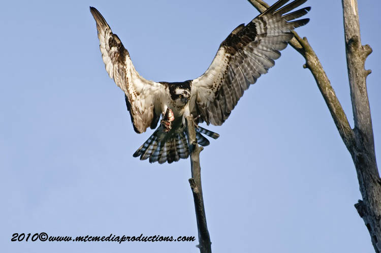 Osprey Picture-63