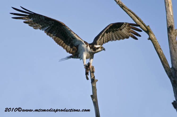 Osprey Picture-64