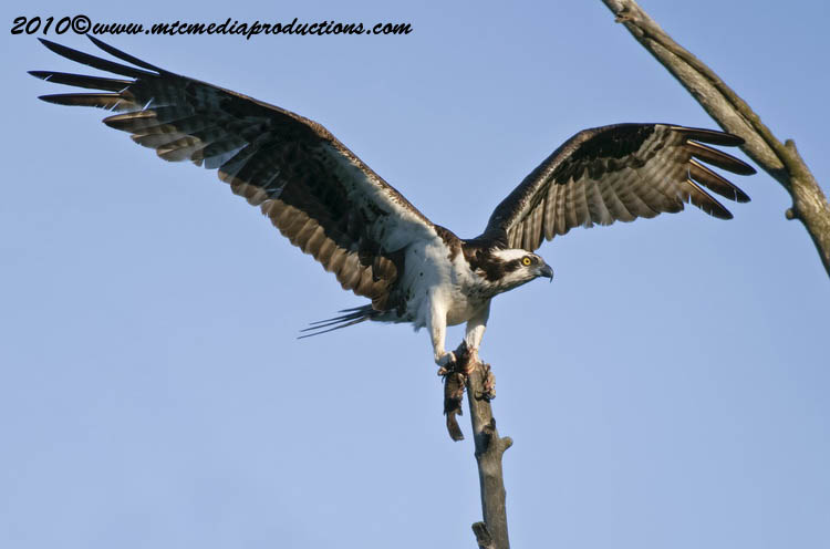 Osprey Picture-65