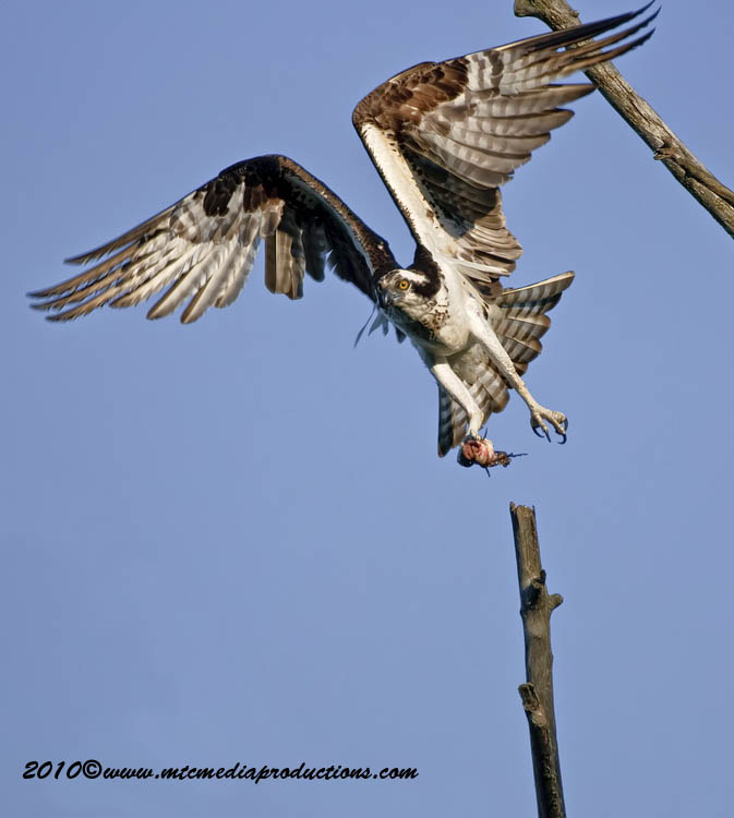 Osprey Picture-67