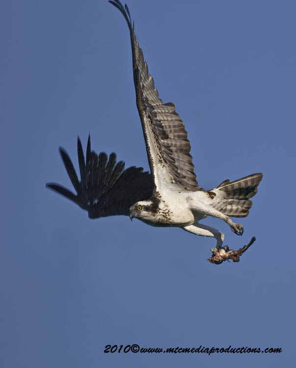 Osprey Picture-68