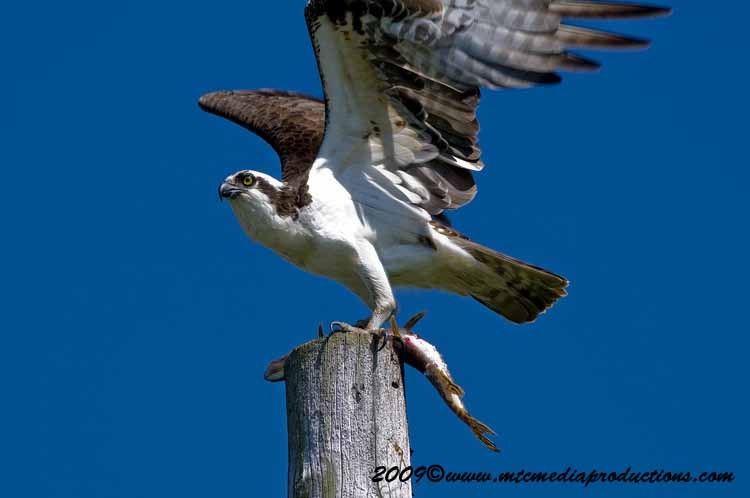 Osprey Picture-07