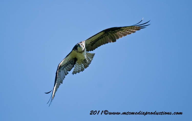 Osprey Picture-71