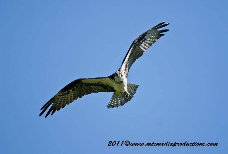 Osprey Picture-72
