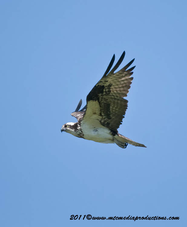 Osprey Picture-73