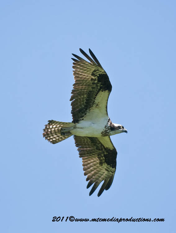 Osprey Picture-74