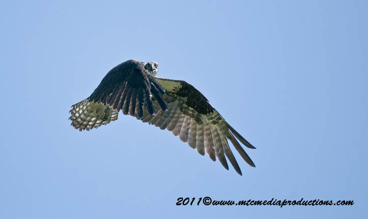 Osprey Picture-75