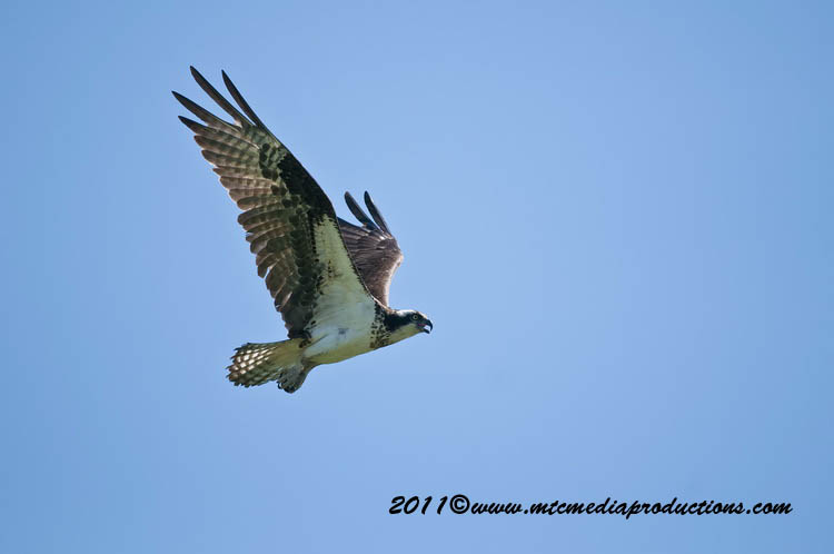 Osprey Picture-76