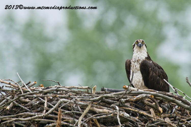 Osprey Picture-78