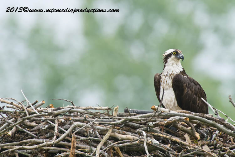 Osprey Picture-79