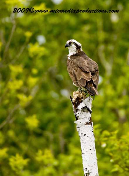 Osprey Picture-08