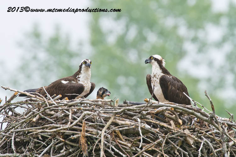Osprey Picture-80