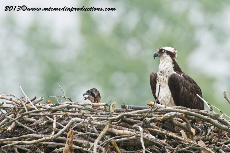 Osprey Picture-81