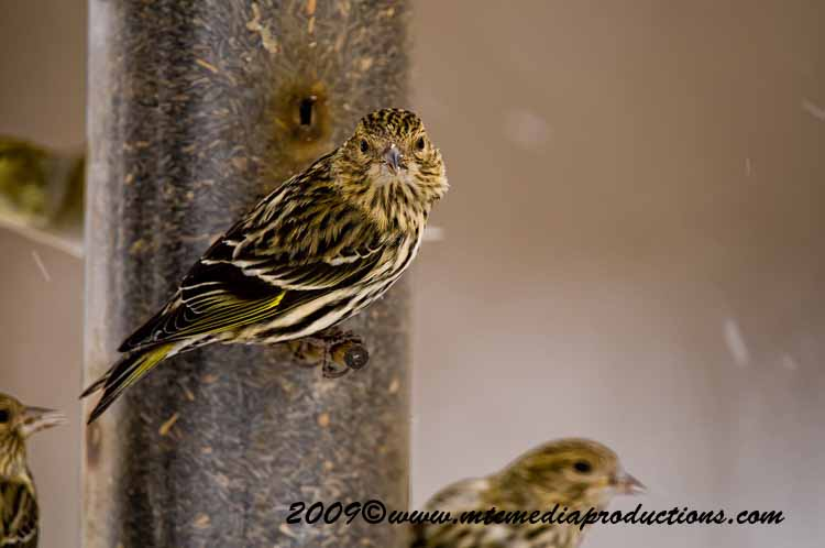 Pine Siskin Picture-00