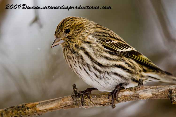 Pine Siskin Picture-01