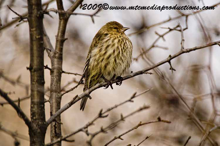 Pine Siskin Picture-10