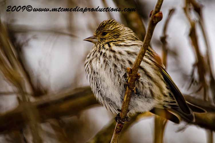 Pine Siskin Picture-11