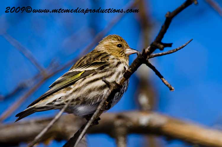 Pine Siskin Picture-12