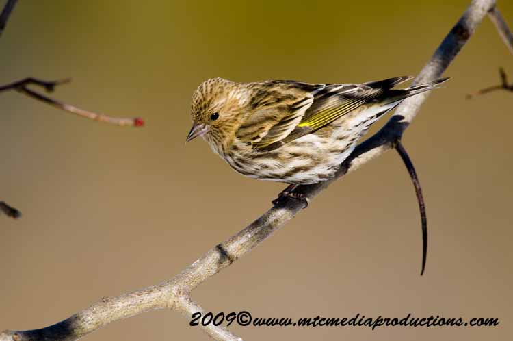 Pine Siskin Picture-13