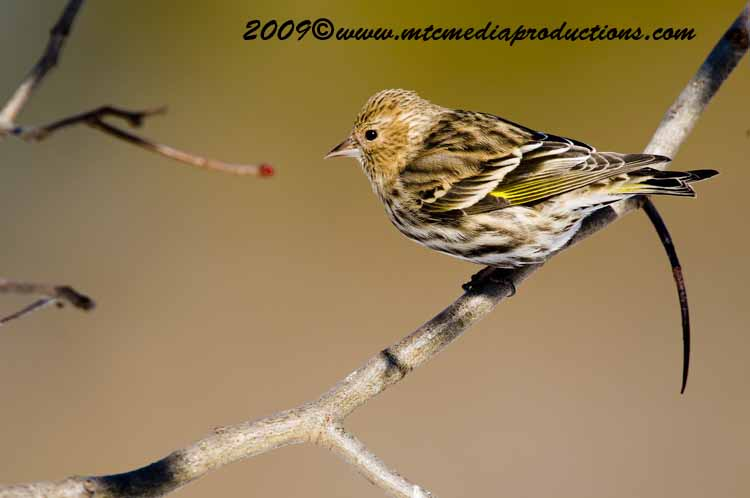 Pine Siskin Picture-14