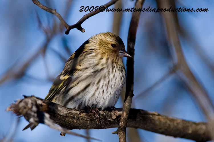 Pine Siskin Picture-15
