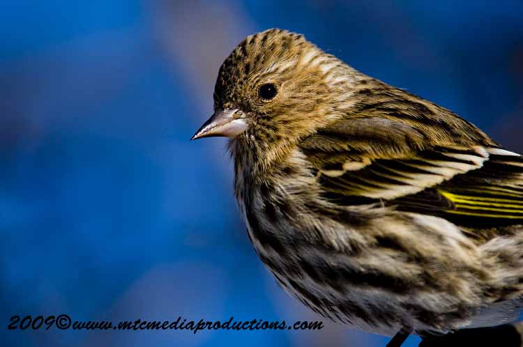 Pine Siskin Picture-16
