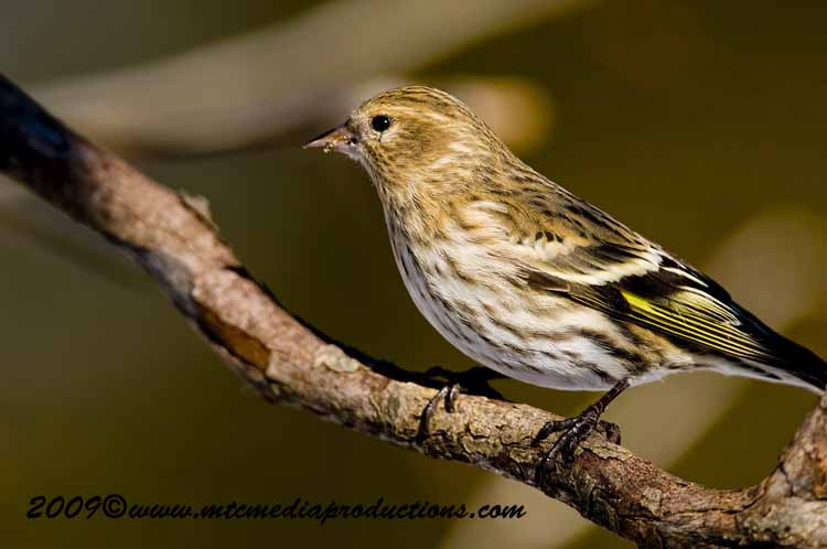 Pine Siskin Picture-17