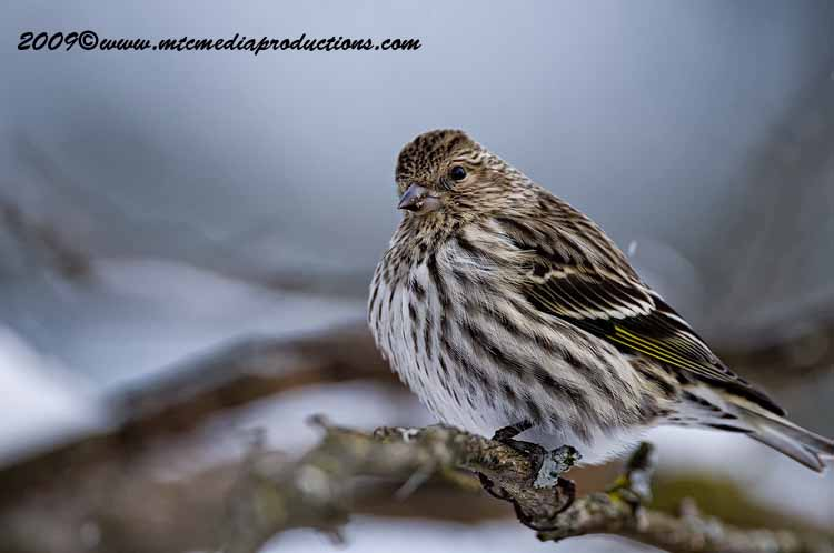 Pine Siskin Picture-19