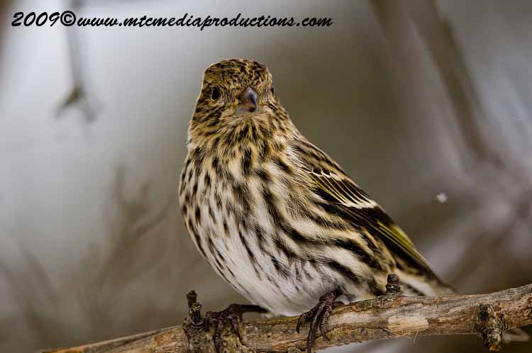 Pine Siskin Picture-02