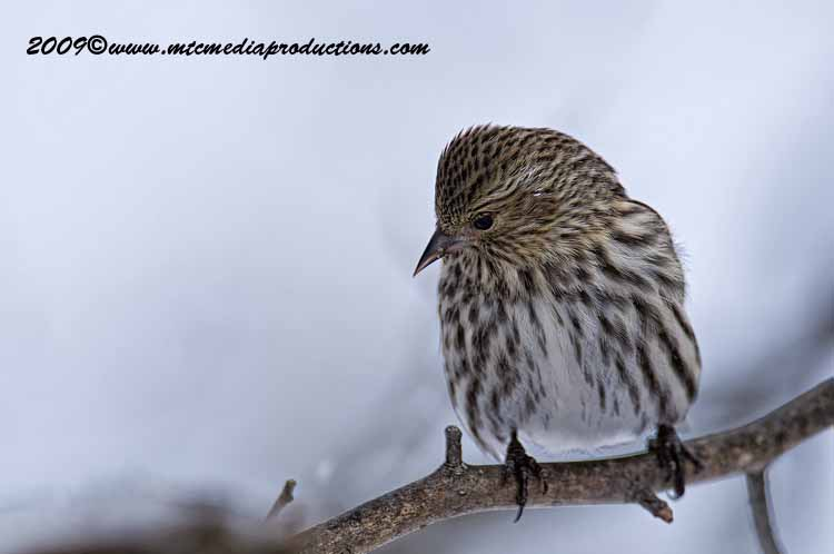 Pine Siskin Picture-20