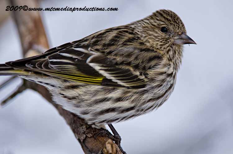Pine Siskin Picture-21