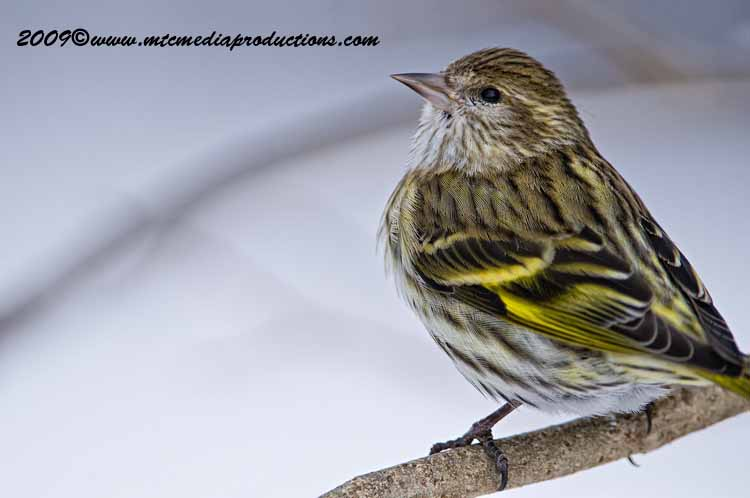 Pine Siskin Picture-22