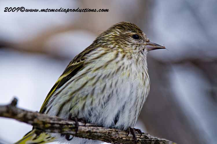 Pine Siskin Picture-23