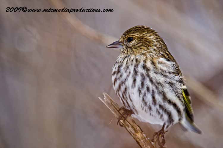 Pine Siskin Picture-24