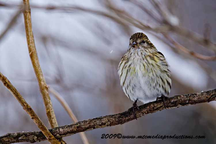 Pine Siskin Picture-25