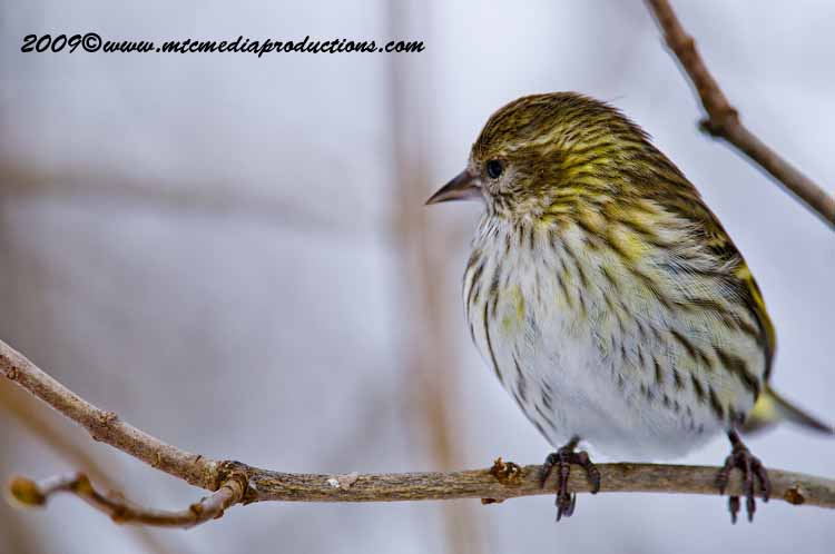 Pine Siskin Picture-27