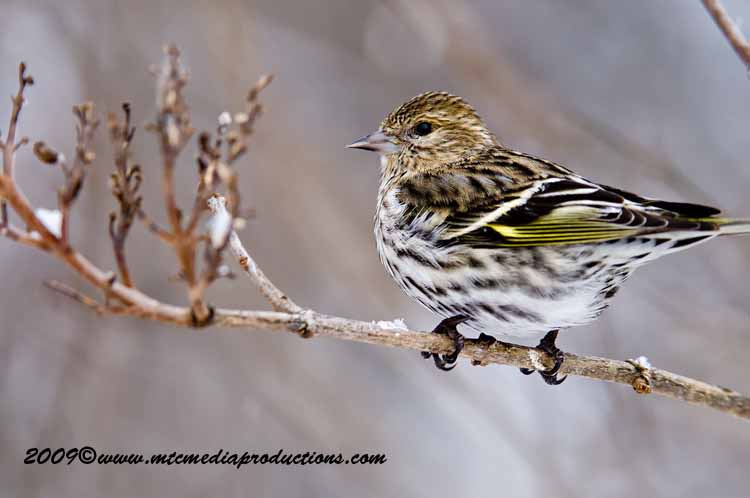 Pine Siskin Picture-28